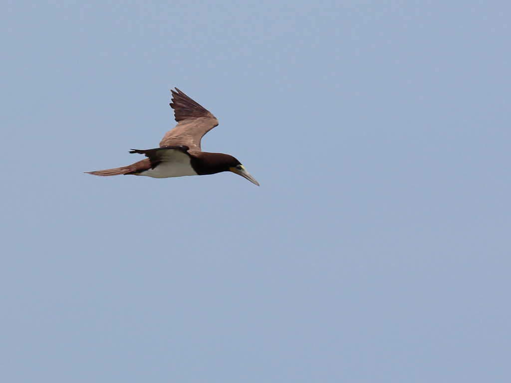 Brown Booby 2017 0903