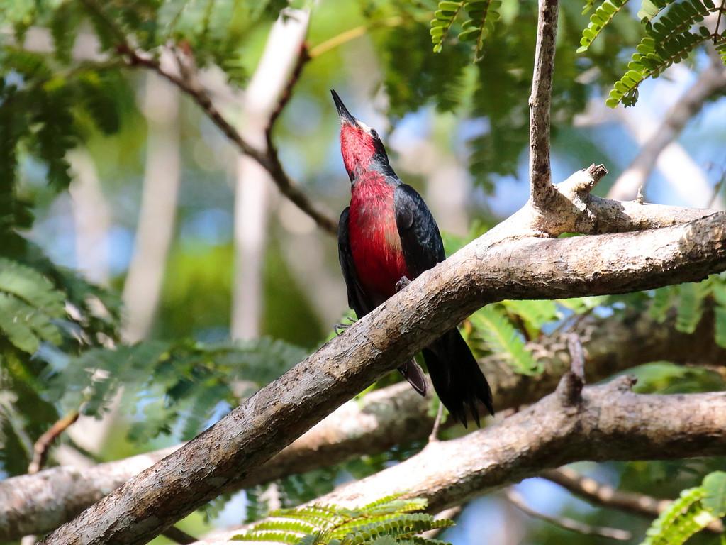 Puerto Rican Woodpecker 2017 0826