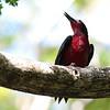 Puerto Rican Woodpecker 2017 0828