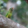 Orange-fronted Parakeet 2017 0976