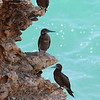 Brown Booby 2017 0706