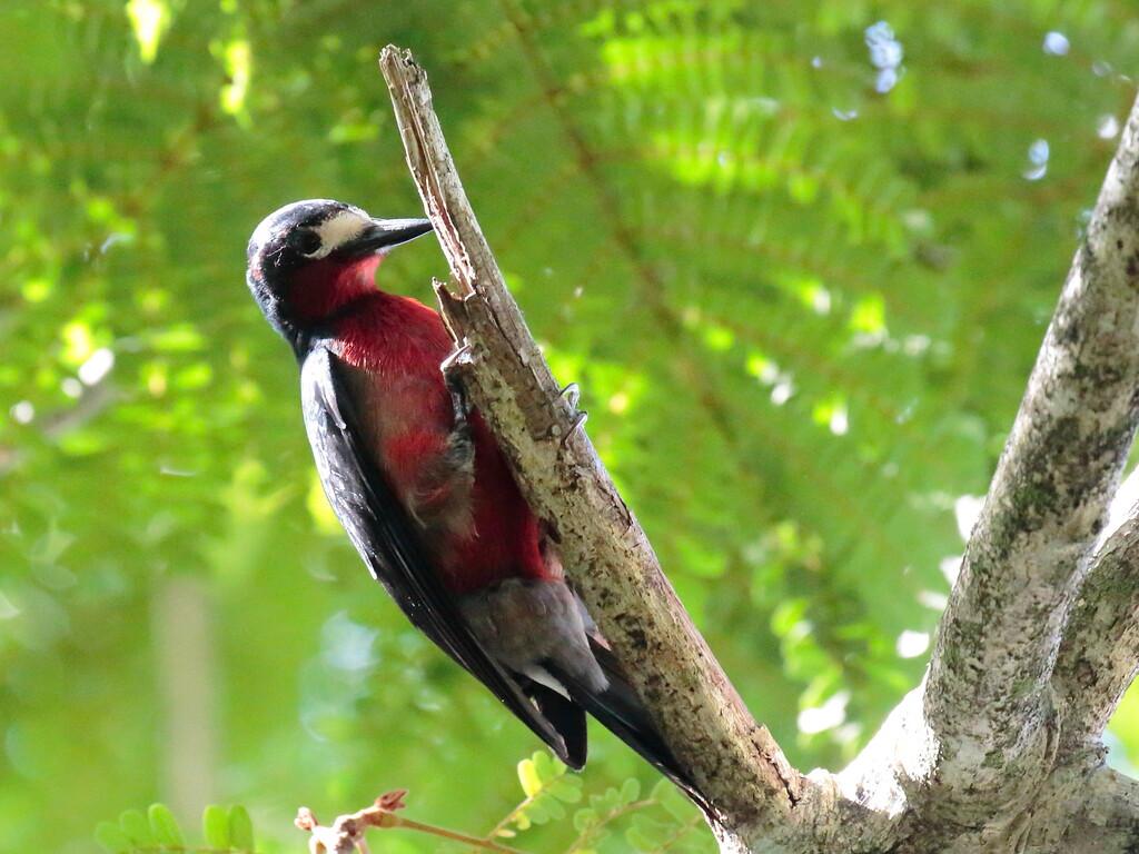Puerto Rican Woodpecker 2017 0800