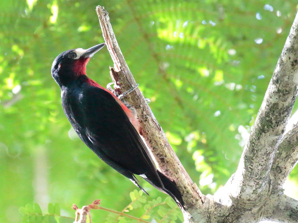 Puerto Rican Woodpecker 2017 0803