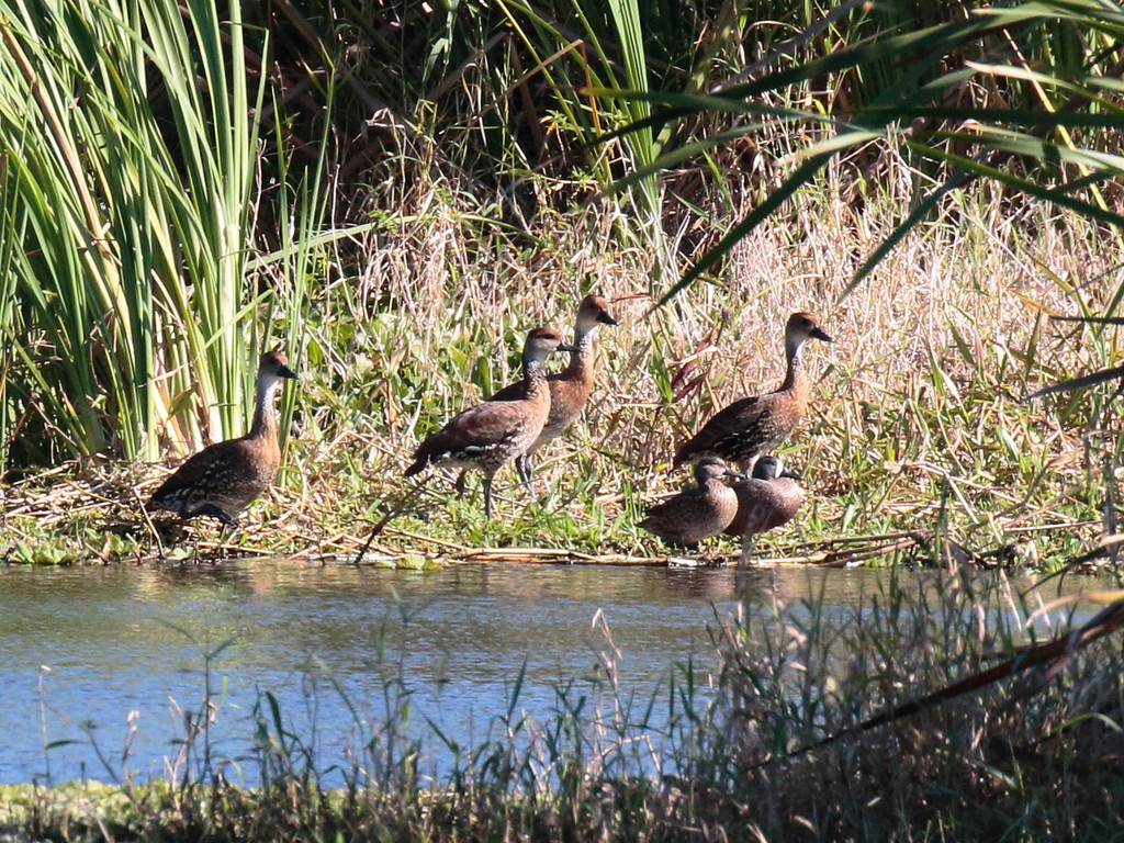West Indian Whistling-Duck 2017 0142