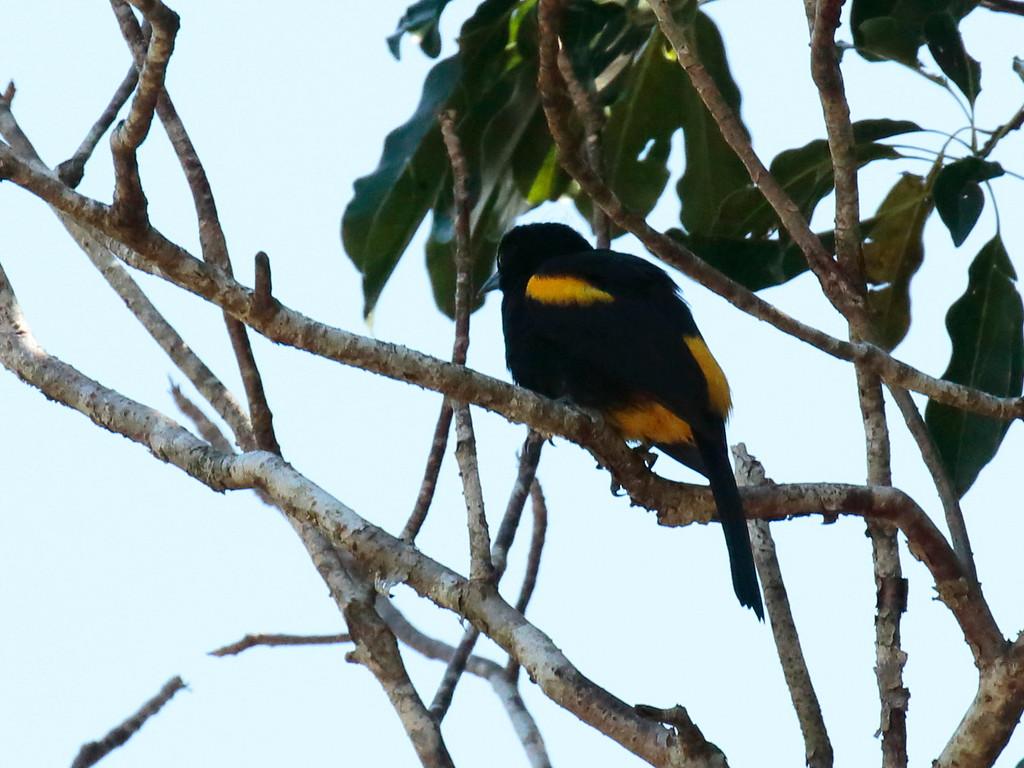Yellow-shouldered Blackbird 2017 0087