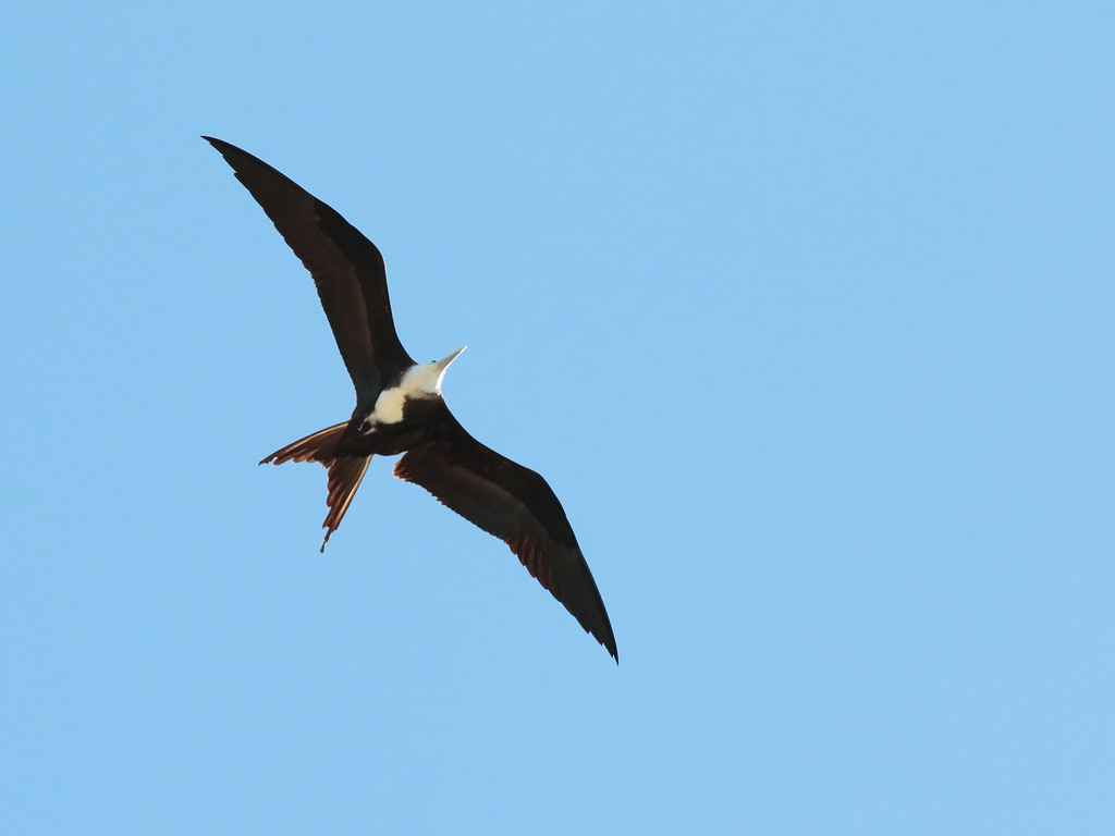 Magnificent Frigatebird 2017 0729