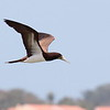 Brown Booby 2017 0909