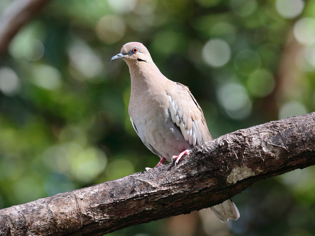 White-winged Dove 2017 1005