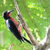 Puerto Rican Woodpecker 2017 0802