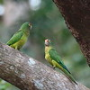 Orange-fronted Parakeet 2017 0981