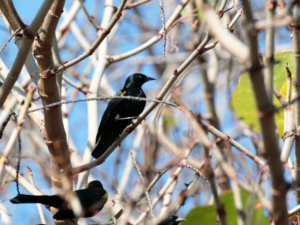 Yellow-shouldered Blackbird 2017 0314
