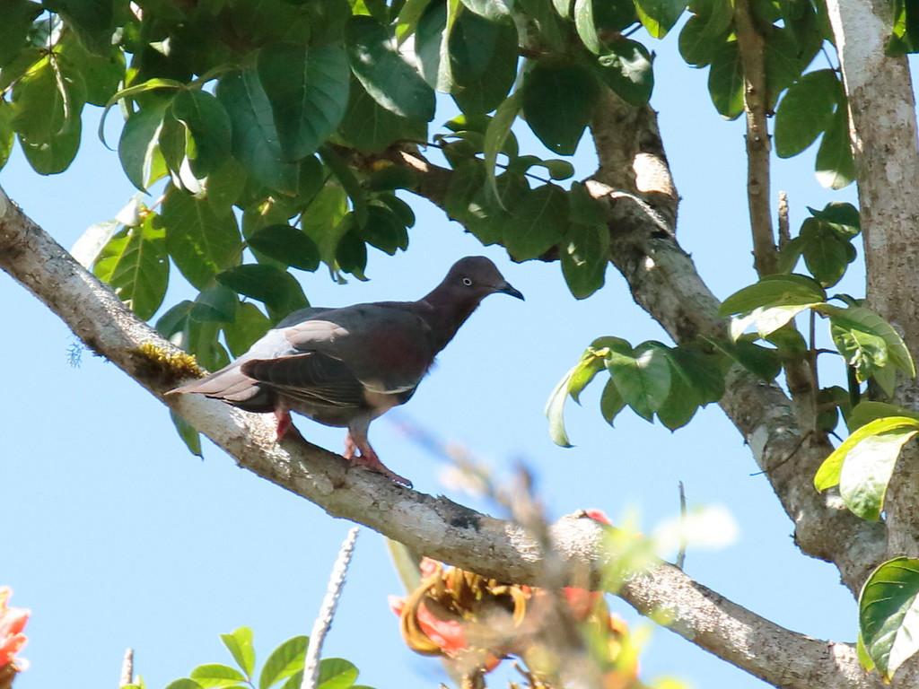 Plain Pigeon 2017 0734