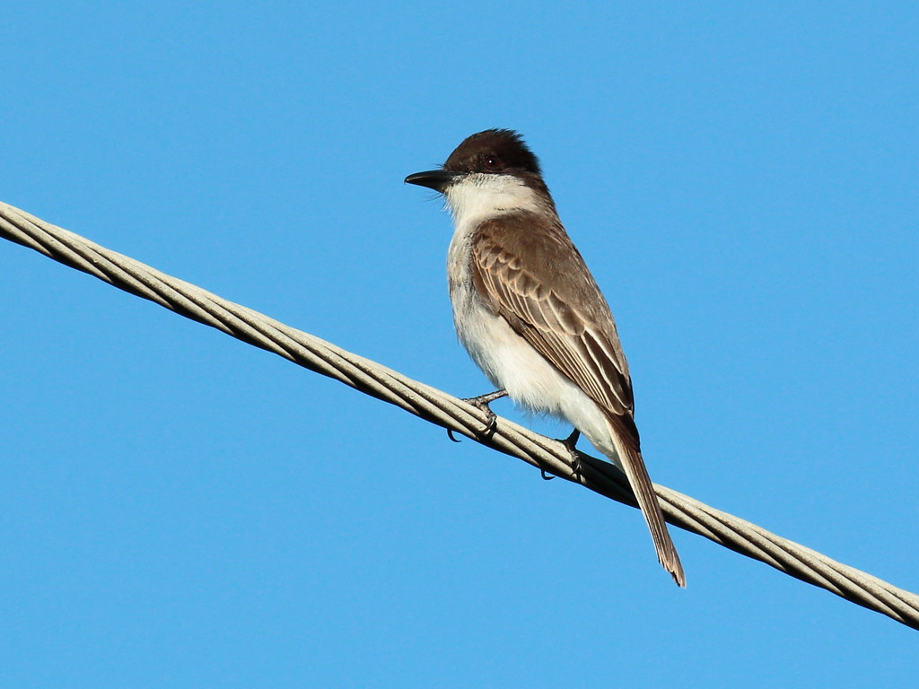 Loggerhead Kingbird 2017 0468