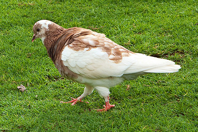 Rock Dove (aka pigeon)