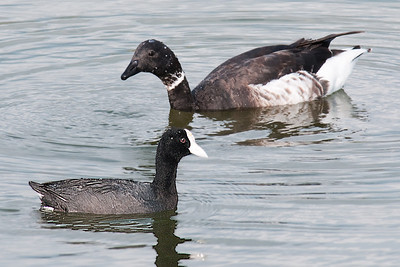 Black Brant with Hawaiian Coot