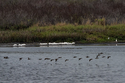 Green Winged Teal and Americn White Pelicans
