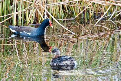 Common Moorhen with Pied-billed Grebe