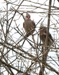 Blue-naped Mousebirds