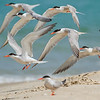 common tern שחפית ים