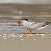 common tern שחפית ים