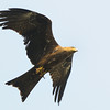 Black Kite transporting chick