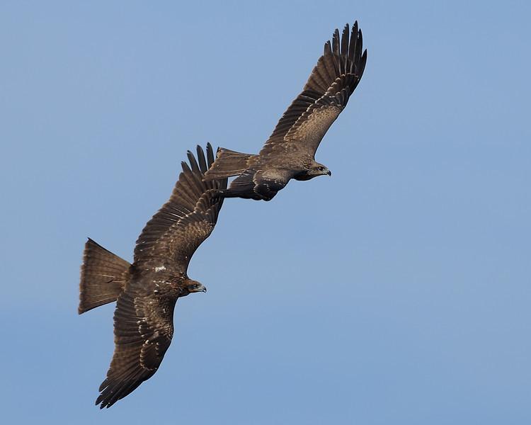 Kites in tandem