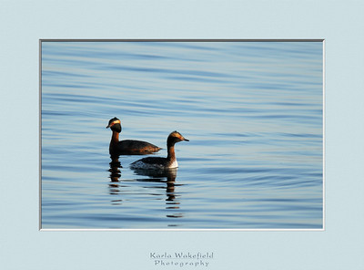 Another first for the day ... my first pictures of a pair of Horned Grebes.