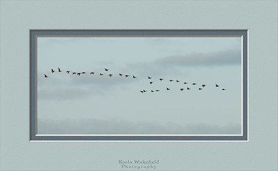 A flock of Brant geese practicing their flying formation. Looks like they need some work.