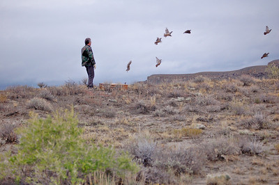Bill Bates releases chukars along Farnum Road near Price River.