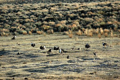 Greater sagegrouse lek