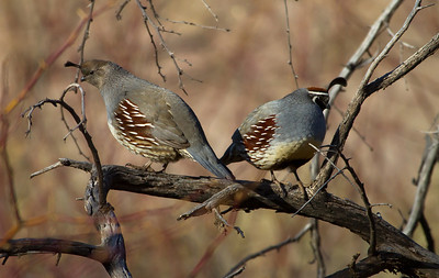 Female (left) and male (right) Gambels quail. Please credit Lynn Chamberlain, Utah Division of Wildlife Resources.