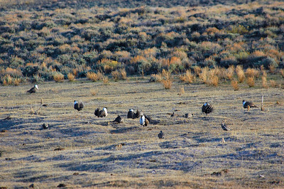 Typical sage-grouse lek or strutting ground. The big birds in the photo, showing a white breast and tail fan, are the male Greater Sage-grouse. The small, squatty brown birds are the females. Males strut while seemingly uninterested females feed on the ground close by.