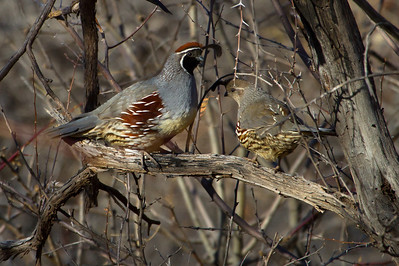 Male (left) and female (right) Gambels quail. Please credit Lynn Chamberlain - Utah Division of Wildlife Resources