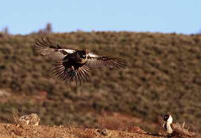 Male Greater sage grouse flying into the lek (strtting grounds) in Utah