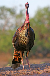 Front view of a turkey.  Photo by Lynn Chamberlain, Utah Division of Wildlife Resources