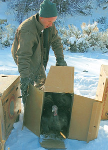 DWR Wildlife Biologist Brad Crompton releases two hen turkeys near the town of Hiawatha.  Photo was taken 12-20-08 by Brent Stettler, Utah Division of Wildlife Resources