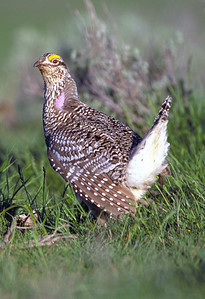 """Sharp-tailed grouse during courtship """"dancing"""".  Photo taken 11-26-08 by Phil Douglass, Utah Division of Wildlife Resources."""