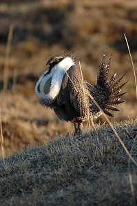 "The second photo is a close-up of a male or cock Greater Sage-Grouse as he performs his ritual strut. Males have an esophageal pouch, which is inflated by the bird as it sucks in air. Once the pouch is inflated, it looks like a greenish-yellow balloon. As the cock steps forward, he brushes his wing feathers against his stiff breast feathers, making a swishing sound.  Then the male stops and abruptly releases the trapped air, Êemitting a low pitched ""blooping"" sound."
