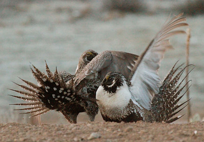 Male greater sage grouse fighting on a lek during breeding season in Utah. Photo by Scott Root, Division of Wildlife Resources.