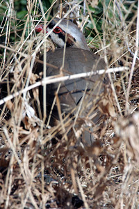 Chukar partridge in cover. Photo by Phil Douglass