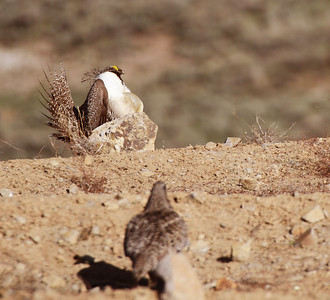 Greater sage grouse in Utah. Photo by Scott Root, Division of Wildlife Resources.