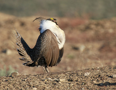 Greater Sage Grouse male strutting, inhaling, open mouth