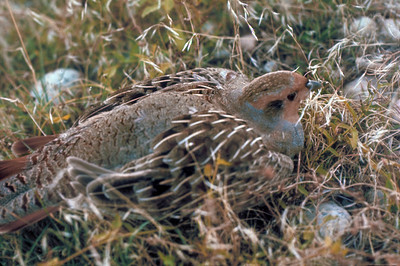The Hungarian partridge, Perdix perdix, is also known as the hun, European partridge, and European gray partridge.