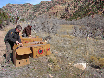 DWR biologists Bill Bates (foreground) and Roy Marchant release turkeys into an area near Nine Mile Canyon. If you look closely, youÕll see a bird running out of one of the turkey carrier boxes Marchant just opened. photo by Alan Green, Utah Division of Wildlife Resources