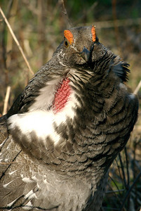 Close-up of dusky grouse displaying. Photo taken by J. Kirk Gardner, courtesy of Utah Division of Wildlife Resources.