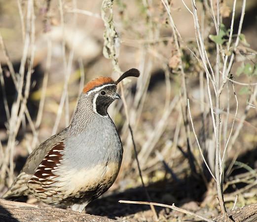 Upland gamebirds