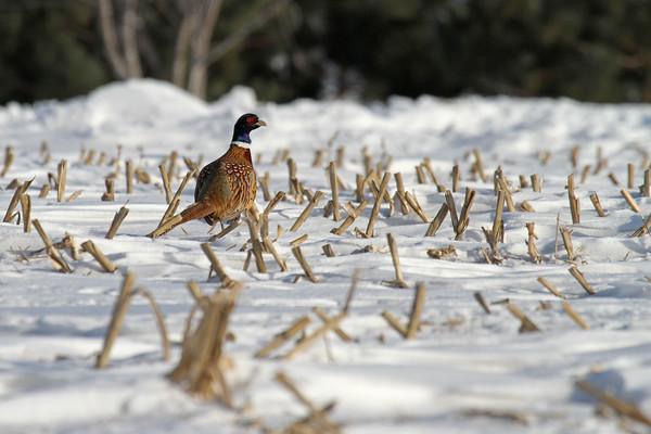 Ring-Necked Pheasant #1 (Phasianus colchicus)