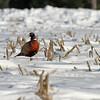 Ring-Necked Pheasant #2 (Phasianus colchicus)
