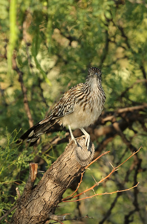 Roadrunner, New Mexico