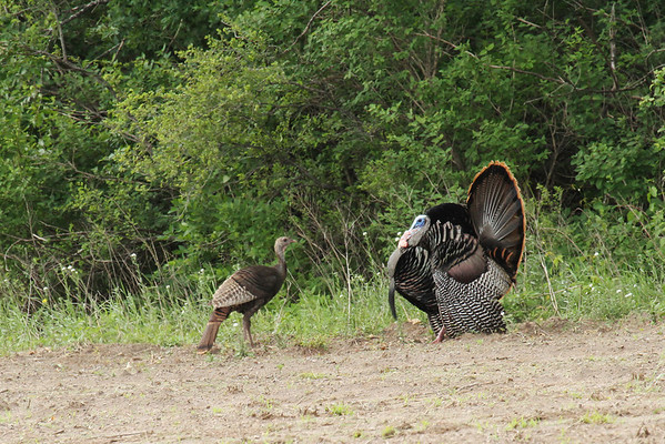 Female And Male Wild Turkey (Meleagris gallopavo)